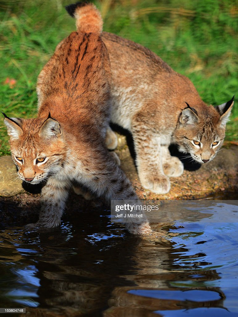 Northern Lynx kittens explore their enclosure at the Highland Wildlife park on October 9, 2012 in Kingussie, Scotland. The feline twins are believed to be the type of lynx found historically in Scotland. The Highland Wildlife Park specialises in Scottish animal species, both past and present, and species that are well adapted to cold weather.