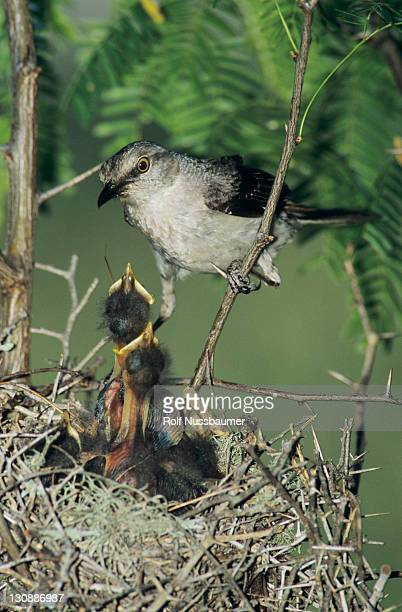 Northern Mockingbird (Mimus polyglottos), adult at nest feeding young, Sinton, Coastal Bend, Texas, USA