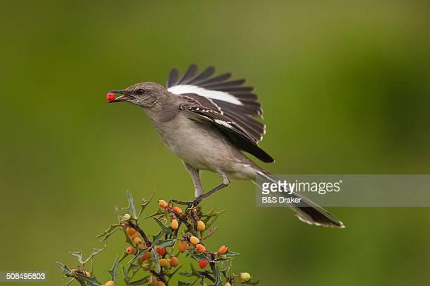 Northern Mockingbird -Mimus polyglottos-, adult feeding on berries, Starr County, Rio Grande Valley, South Texas, USA