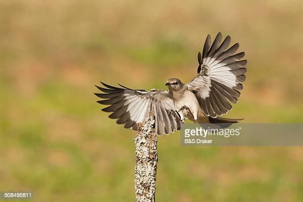 Northern Mockingbird -Mimus polyglottos-, adult landing, Starr County, Rio Grande Valley, South Texas, USA