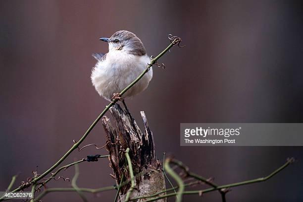 Northern Mockingbird perches on a branch January 2015 in Reston VA