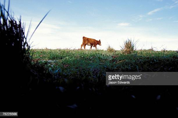 An ants view of a cow moving along the roadside.