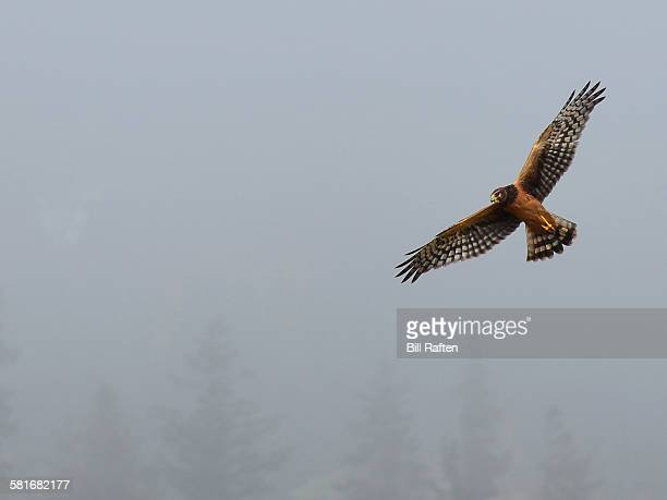 Northern or Hen Harrier Hawk flying in the fog