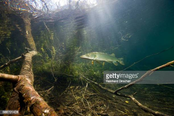 Northern Pike (Esox lucius), Echinger Weiher Lake, Germany