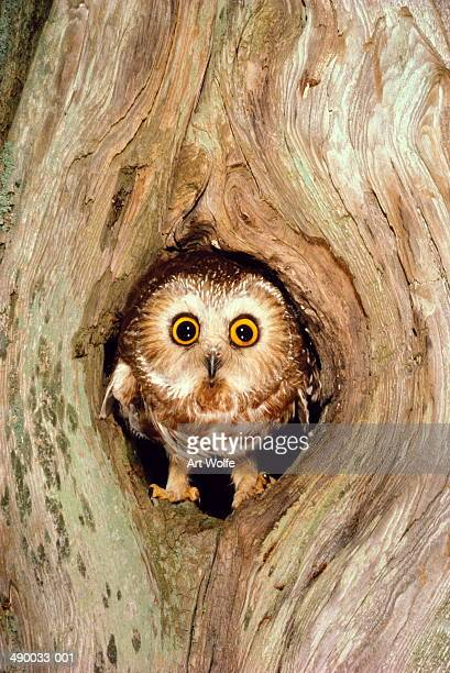 Northern saw-whet owl (Aegolius acadicus) in tree cavity, USA
