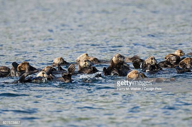 Northern Sea Otters (Enhydra lutris kenyoni) in Saginaw Bay off Kuiu Island in Tongass National Forest