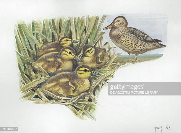 Northern Shoveler with ducklings in nest illustration