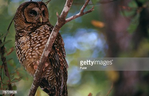 Northern Spotted Owl : Stock Photo