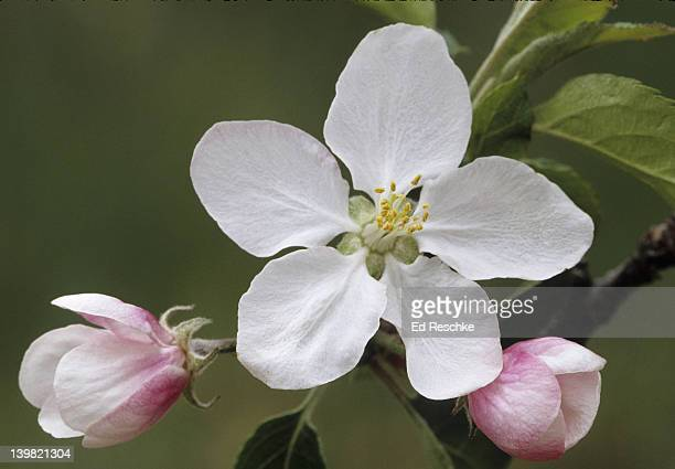 Northern Spy Apple blossoms, Malus domestica. Many varieties of long-cultivated edible apple. Very frost hardy. MI