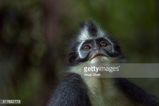 Northern Sumatran or Thomas Leaf monkey female