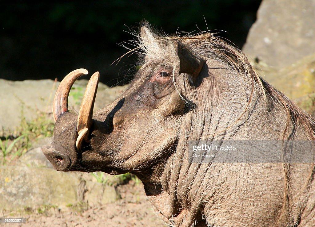 Northern Warthog Portrait