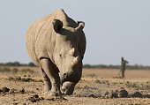 A Northern white rhinoceros is seen at the Ol Pejeta Conservancy on February 11 2015 near Nanyuki Kenya The rhino one of only five left on this...