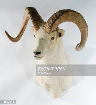 Northwest Dall Sheep Trophy Head Mount