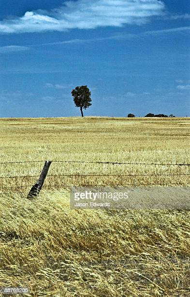 A leaning farm fence emerges from golden fields of wheat in summer.