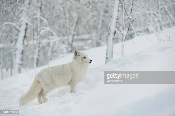 Norway, Bardu, polar fox in winter