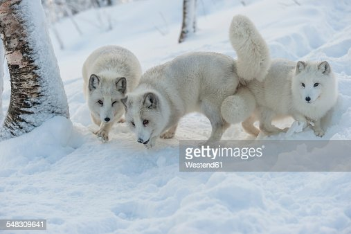 Norway, Bardu, three polar foxes in winter