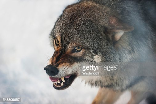 Norway, Bardu, wolf baring teeth
