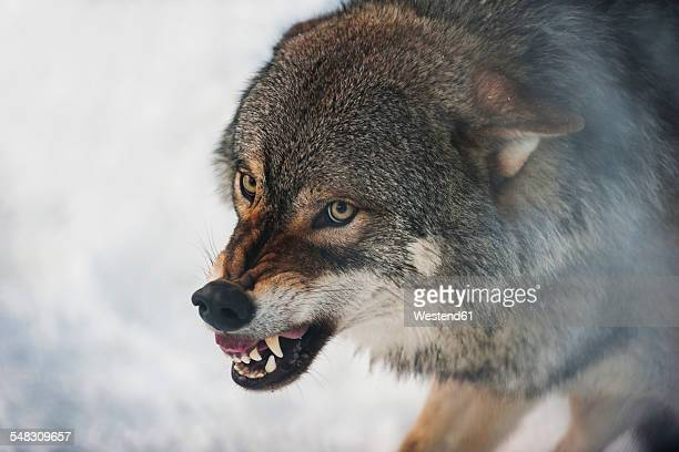 Norway, Bardu, wolf baring teeth