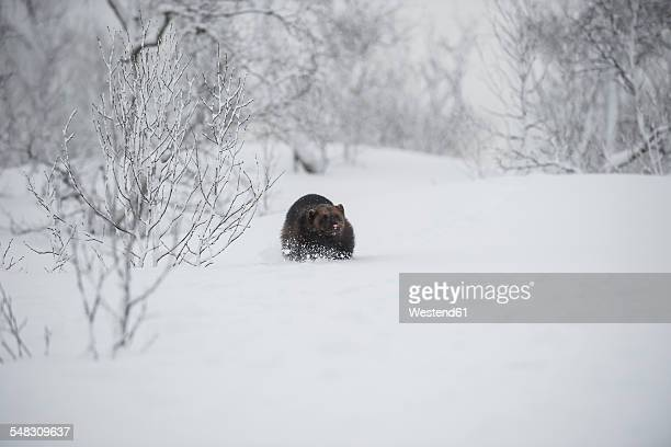 Norway, Bardu, wolverine walking through snow