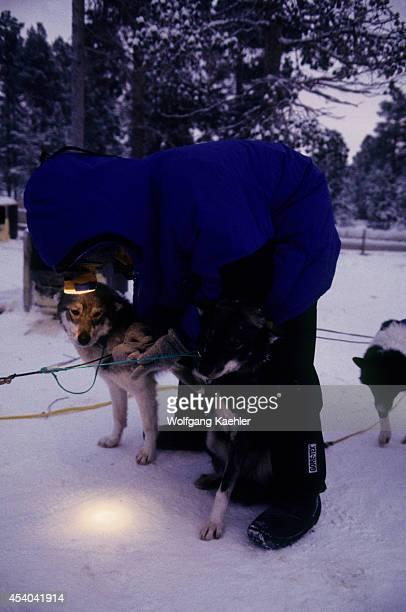 Norway Finnmark Near Karasjok Engholm's Homestead Kennel Dogs Being Prepared Mr