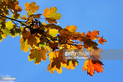 Norway Maple Spring Leaves Stock Photo Getty Images - Norway maple uses