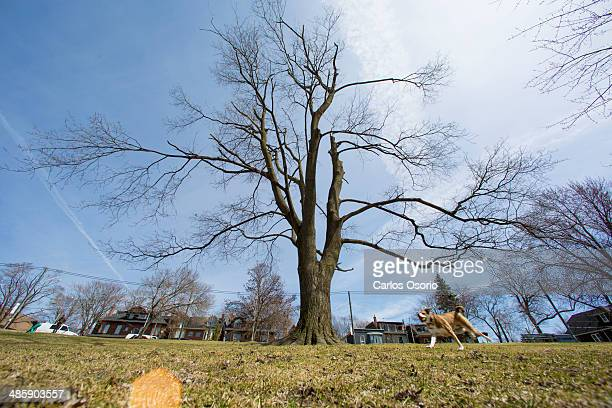 Norway Maple tree located on in Riverdale Park east on Broadview Avenue This photographs is for a series about this tree which was damaged in the ice...