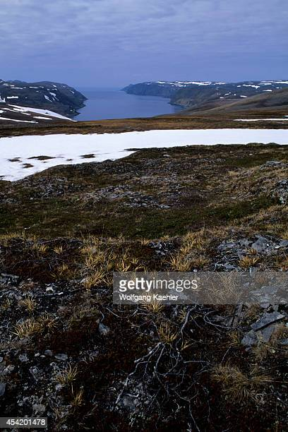 Norway Near Honningsvag Landscape Near North Cape Arctic Willow Tree In Foreground