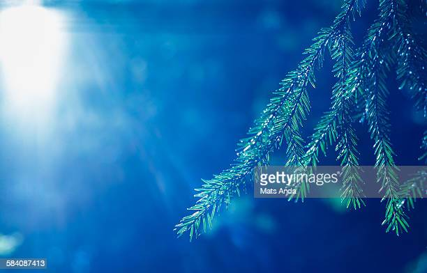 Norway spruce in backlight