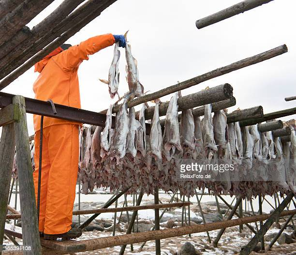 Norwegian fisherman hanging cod fish on wooden scaffolding