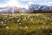 Norwegian landscape in summer with sun and mountains in background and eriophorum cotton-grass in blossom in foreground, Norway