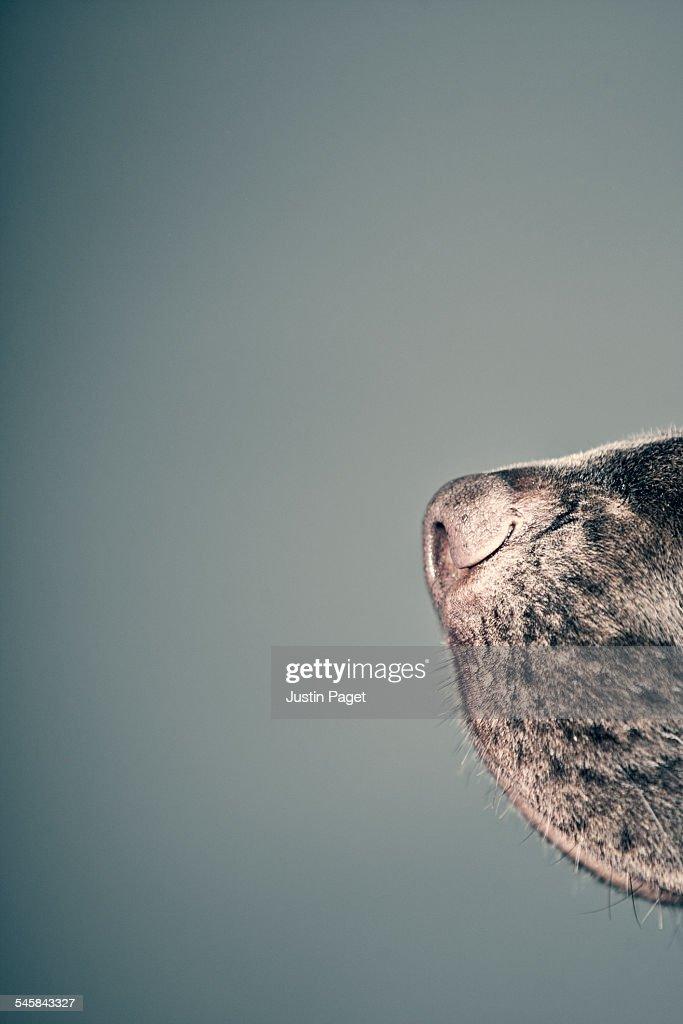 Nose of a Chocolate Labrador