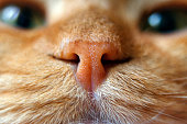 Nose of a red cat in focus macro