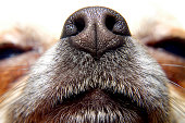 Nose of chihuahua, my lovely dog
