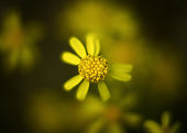 A not perfect wild yellow flower. Not perfect petals. Blurry soft look.