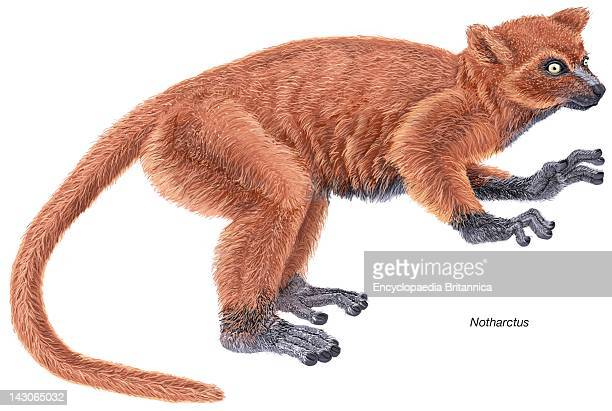 Notharctus An Extinct Genus Of Small Primates From The Eocene Epoch That Shares Many Similarities With Modern Lemurs