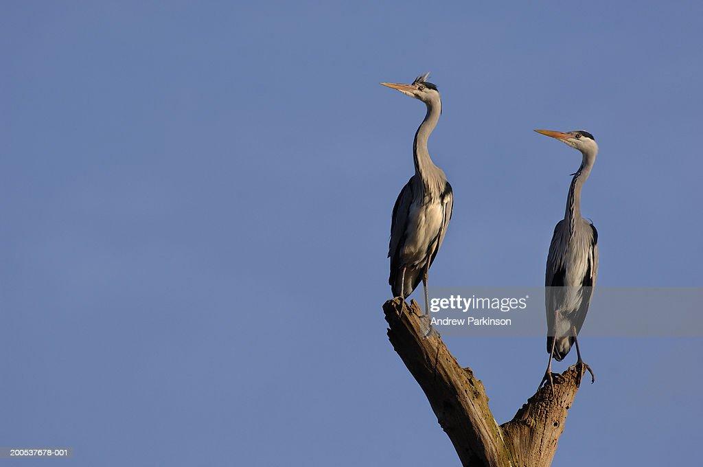 UK, Nottinghamshire, pair of grey herons perched on tree stump : Stock Photo