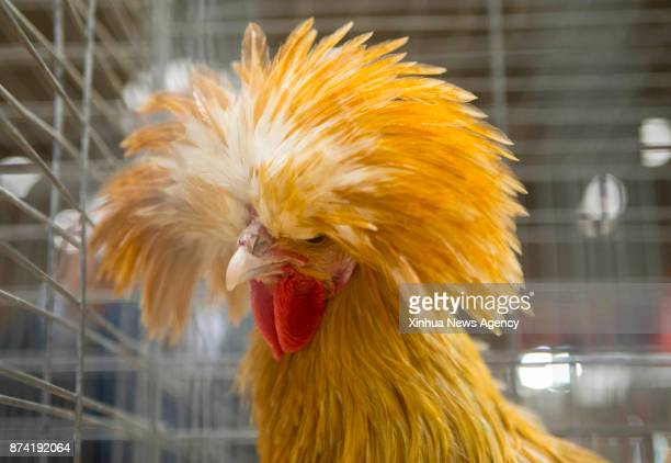 A Polish Buff Laced cockerel is seen during the Rabbit Cavy and Poultry Show at the 2017 Royal Agricultural Winter Fair in Toronto Canada Nov 12 2017