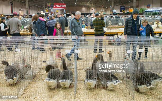 People look at animals during the Rabbit Cavy and Poultry Show at the 2017 Royal Agricultural Winter Fair in Toronto Canada Nov 12 2017
