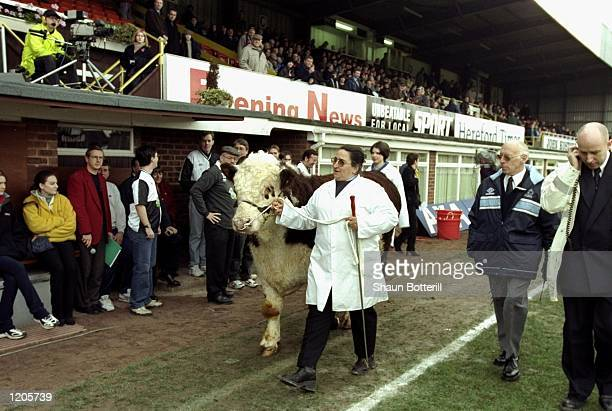 The Hereford bull is paraded around the pitch before the FA Cup Second Round match against Hartlepool played at Edgar Street in Hereford England The...