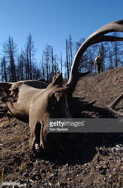 Nov 25 2003 The carcass of a buck mule deer lies in the burned forest Cuyamaca Rancho State Park in San Diego County Ranger Ranger Bob Hillis counted...