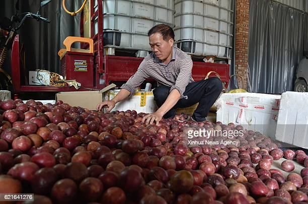 SHANGHANG Nov 7 2016 A farmer packs passion fruits in a village of Shanghang County southeast China's Fujian Province Nov 7 2016 The passion fruit...