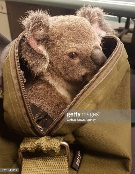SYDNEY Nov 7 2016 Photo taken on Nov 6 2016 shows a baby koala tucked inside a handbag in Australia's Queensland Australian Queensland police have...