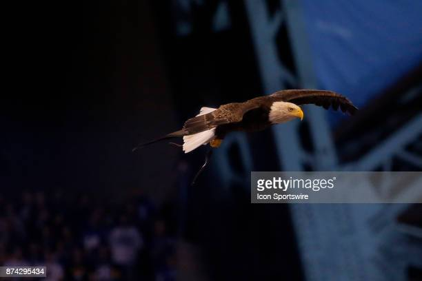 Challenger the Bald Eagle in flight during the National Anthem prior to an NFL football game between the Pittsburg Steelers and the Indianapolis...