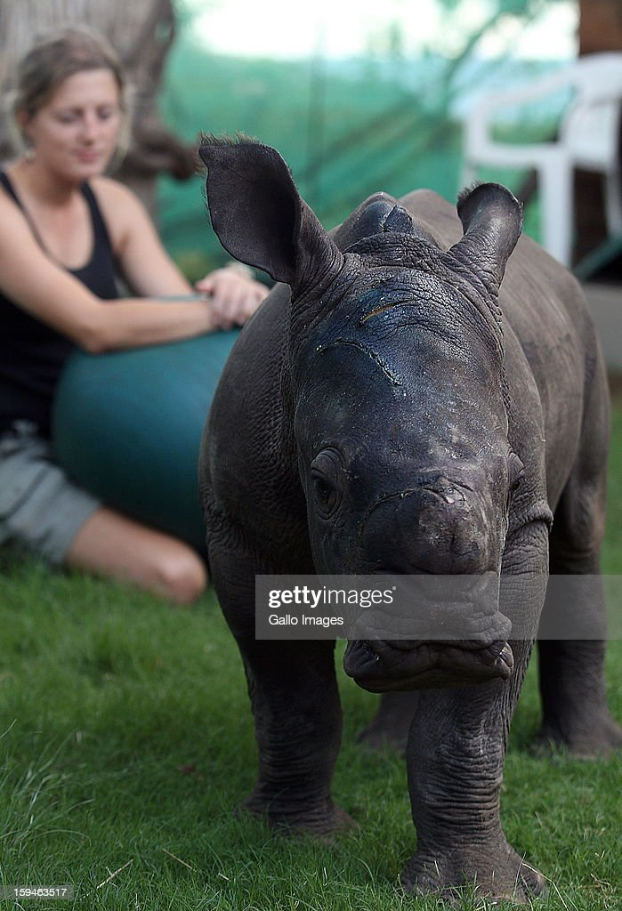 Ntombi, a two-month old white rhino recovers at Legends Golf Estate on January 12, 2013 in Limpopo, South Africa. Ntombi survived a brutal panga attack, when poachers, poached her mother earlier this week. She sustained severe head injuries and is now being cared for in a rhino orphanage.