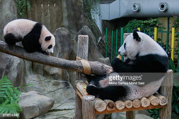 Nuan Nuan an eight month Panda cub born on August 1 plays near it's mother Liang Liang during the announcement of its name at the National Zoo on...