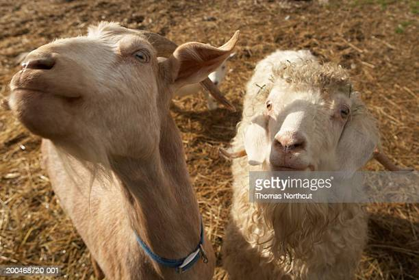 Nubian goat and Angora goat in pasture, elevated view