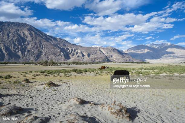Nubra Valley Sand dunes with blue sky, cow, mountains, Leh Ladakh