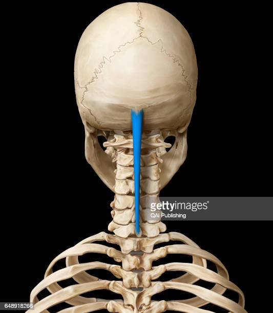 Ligament Stock Photos and Pictures | Getty Images
