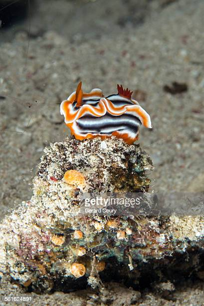 Nudibranch type Chromodoris