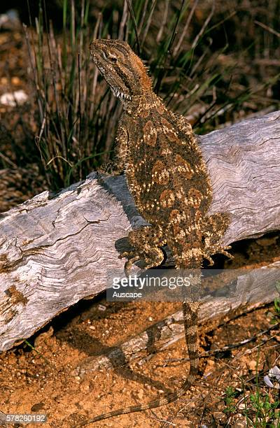 Nullarbor bearded dragon Pogona nullarbor climbing log eyeing photographer over its shoulder Near Balladonia Western Australia Australia